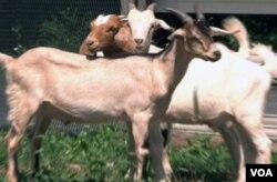 Pengunjung dapat membeli kambing-kambing ini di peternakan Wagon Wheel, untuk kemudian mereka sembelih sendiri di peternakan ini juga.