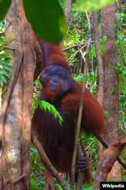 Orangutan di Taman Nasional Tanjung Puting, Kalimantan (foto: Wikipedia).