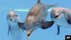 Foto de archivo de delfines en el Zoológico de Brookfield, en Illinois.