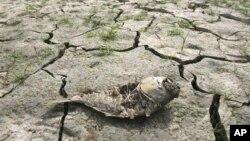 Xác con cá chết khô trong một hồ chứa nước khô cạn sau nhiều tháng hạn hán ở Nam Triều Tiên