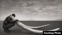 Born Free and C4ADS say elephant poaching is several hundred million dollar industry. (Credit: Born Free USA)