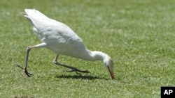 FILE - A white stork catches a cricket.