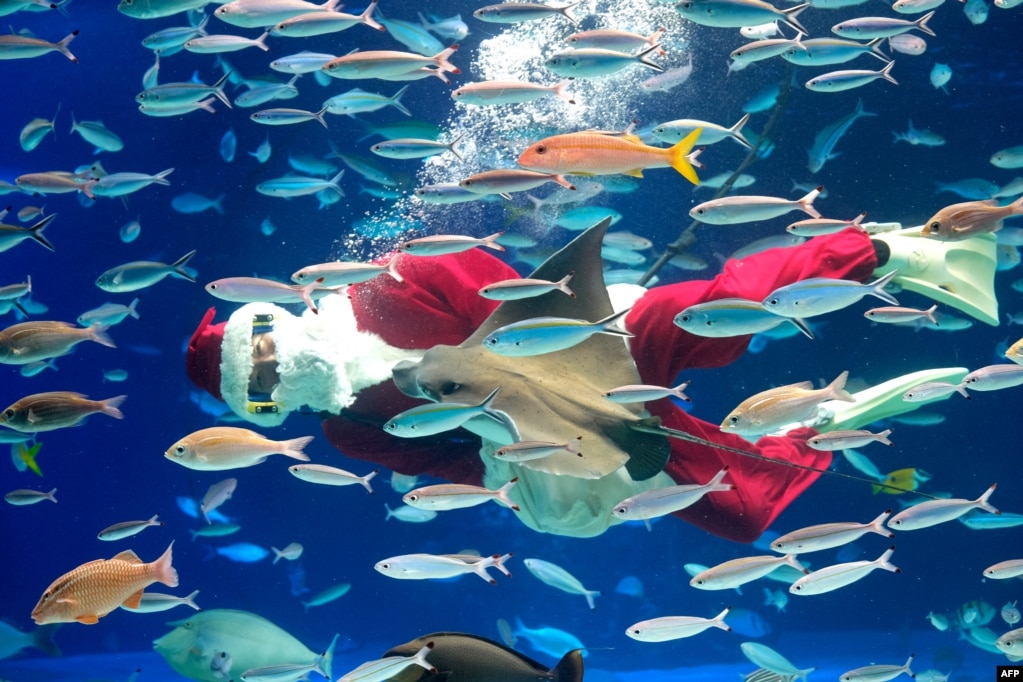 A diver dressed in Santa Claus clothes swims with fish during a Christmas show at Sunshine Aquarium in Tokyo.