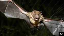 FILE - A vampire bat is caught in a net in Aracy, in the northeast Amazon state of Para, Brazil, Dec. 1, 2005.