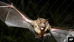 Seekor kelelawar terperangkap di jaring di Aracy, negara bagian Para, Brazil, 1 Desember 2005.