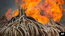 Les autorités kenyanes brûlent l'ivoire collecté par les braconniers, le 30 avril 2016.