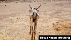 Oromiyaa naannoo horsiisee bulaatti horii hedduutti bokkaa dhabee dhumachuutti jira