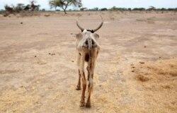Oromiyaa naannoo horsiisee bulaatti horii hedduutti bokkaa dhabee dhumate