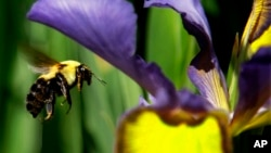 FILE - A bumble bee flies toward a flower in Springfield, Illinois, May 15, 2012