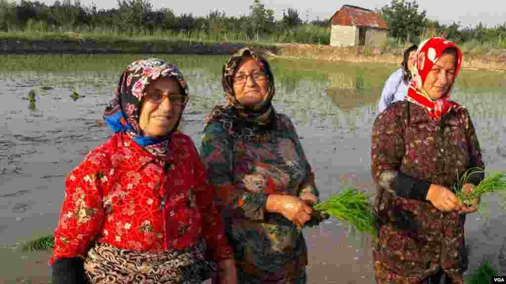 کشت برنج در مازندران عکس: ولی اله فلاح (ارسالی از شما)