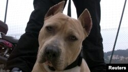 Registros del Condado de Montgomery muestran que un Staffordshire Terrier, que se asemeja a un pitbull, está registrado en la dirección del asesinato.