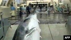 Çevrecilerden Balinaları Korumak İçin Daha Sıkı Önlemler Çağrısı