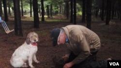 Тренерот на кучиња Џим Сенфорс трага по тартуфи со кучето од видот лагото ромањоло кое само што му дало знак каде се сокриени (Фотографија: ВОА/Т. Банси)