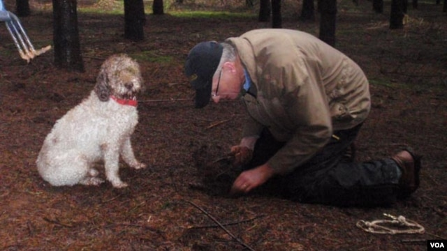 Dog trainer Jim Sanford searches for the truffle his Lagotto Romangnolo (Italian truffle dog) has just alerted him to. (VOA/T.Banse)