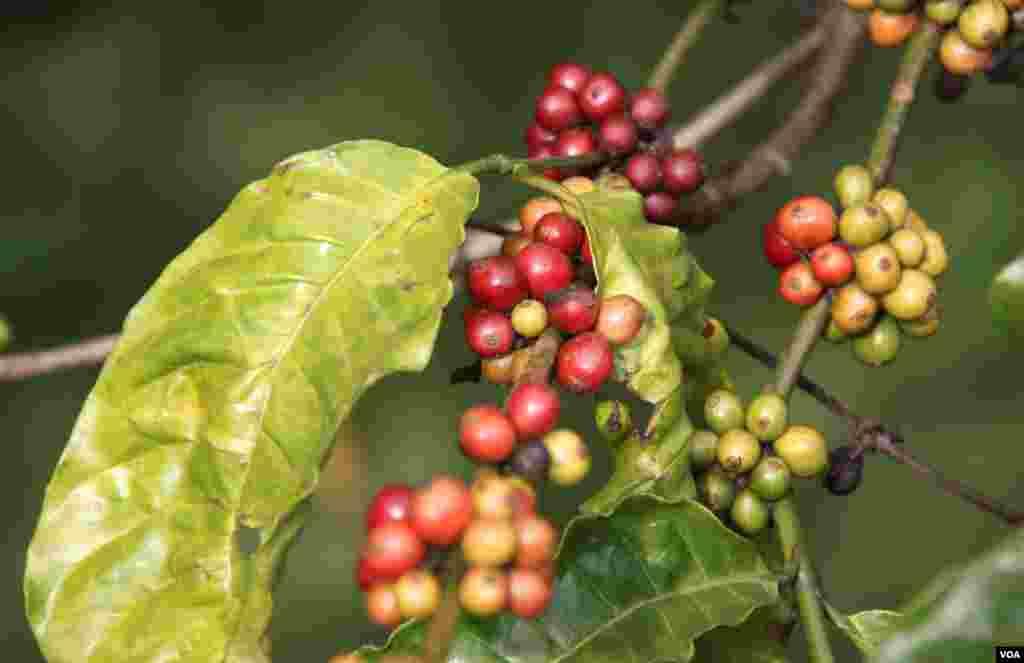 Buah kopi yang ranum di perkebunan di Buon Ma Thuot, Vietnam. (D. Schearf/VOA)