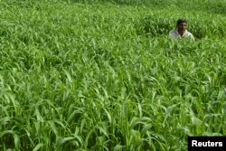 FILE - A farmer works in his millet field in the northern Indian city of Mathura, June 21, 2008.