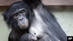 Three weeks old Bonobo baby Luebo is carried by his mother Lisala in a zoo in Wuppertal, Germany