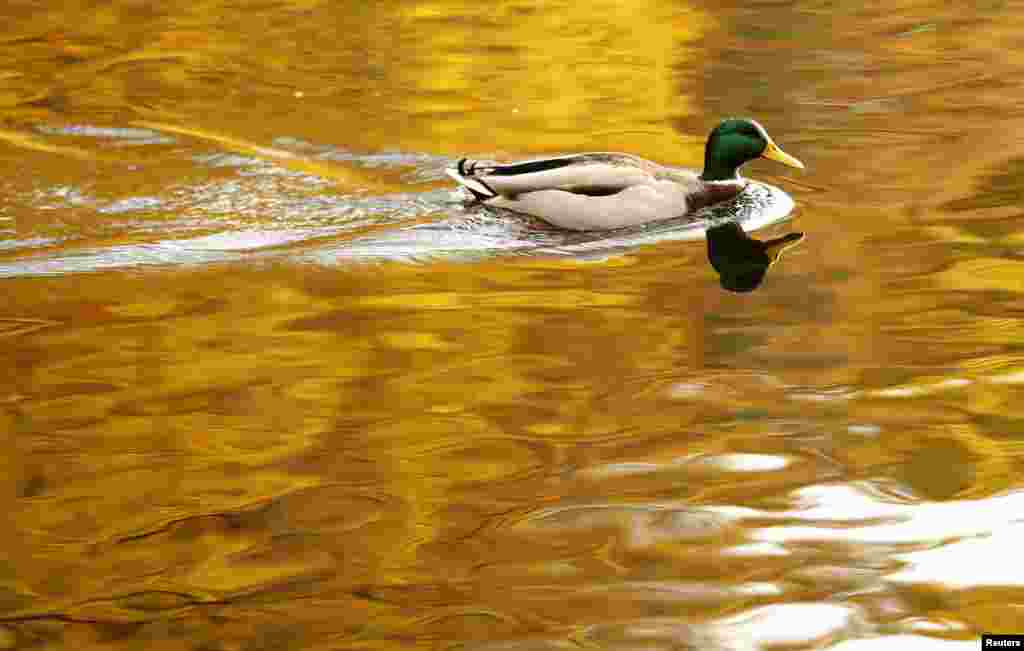 A duck paddles on Loch Faskally as autumn leaves are reflected in the water in Pitlochry, Scotland.
