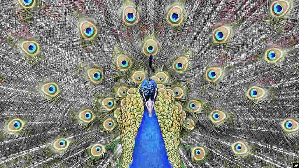 Seekor burung merak memamerkan bulu-bulunya di kebun binatang di Duisburg, Jerman.