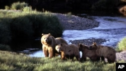 FILE - This undated image provided by the National Park Service shows a grizzly bear sow with three cubs inside Yellowstone National Park, Wyo. The grizzlies in and around Yellowstone Park were removed from the threatened list this summer.