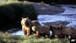 Una manada de osos grizzlis en el parque nacional Yellowstone, parecidos a los que este viernes atacaron a un turista en Alaska.