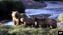 Seekor induk beruang bersama anak-anaknya (foto: ilustrasi).