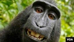 Photo uniquement à titre d'illustration montrant le singe qui avait pris un selfie, l'affaire ayant provoqué une controverse autour des droits d'auteur.