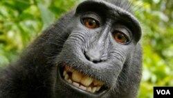 Un singe souriant s'est pris un 'selfie'
