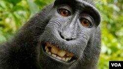 عکس سلفی «ناروتو» میمونی که در اندونزی زندگی می کند.