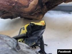 Jenis katak beracun koleksi Kebun Binatang Oakland, Poison Dart Frog. (Facebook/Ashley O-OakZoo)
