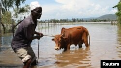 Michael Onyango pulls his cow from his flooded land after river Sondu Miriu burst its banks in Homabay County Kenya, April 29, 2012.