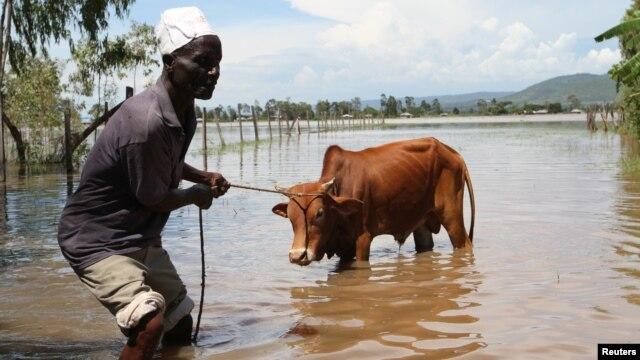 Michael Onyango pulls his cow from his  flooded land  after river Sondu Miriu burst its banks  in Homabay County Kenya, April 29, 2012.