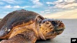 Des volontaires s'activent pour protéger les tortues marines du Gabon