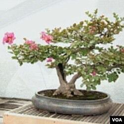 Bonsai u cvatu