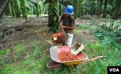 Seorang pekerja sedang memanen kelapa sawit. (Foto: ilustrasi).