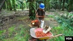 Seorang pekerja sedang memanen kelapa sawit di sebuah perkebunan di Pangkalan Bun, Kalimantan Tengah.