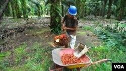 Pekerja perkebunan sawit di Sabah, Malaysia, diungsikan menyusul konflik polisi Malaysia dengan kerajaan Sulu di Filipina Selatan. (Foto: Dok)