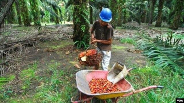 Seorang pekerja sedang memanen kelapa sawit di sebuah perkebunan di Pangkalan Bun, Kalimantan Tengah. (Foto: Dok)