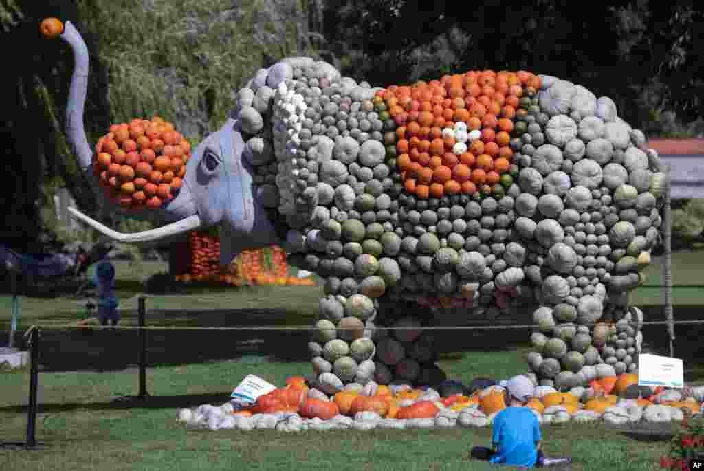 این مجسمه فیل در حاشیه یک فستیوال در شهر فرانکفورت آلمان است. در آستانه پائیز، این فیل با صدها کدو درست شده است.
