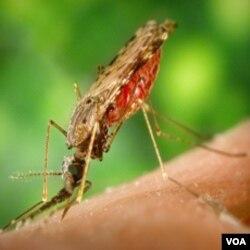 Nyamuk penyebar malaria.