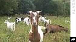 环保新招:租羊除草
