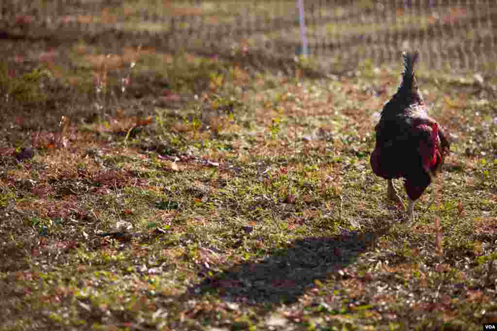 The farm's chickens and other livestock are sustainably raised. (Alison Klein/VOA)