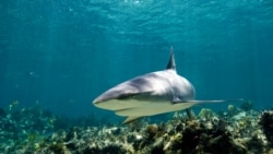 Science in a Minute: Are Sharks Misunderstood?