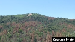 The effect of drought-induced dieback of ponderosa pines in California's Tehachapi Mountains as seen in June 2014. (Ian McCullough, Univ. of California Santa Barbara)