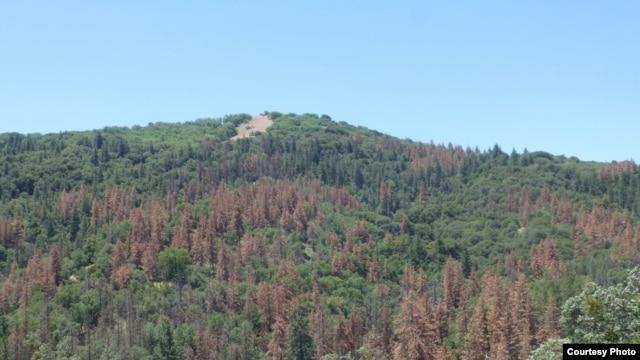 The effect of drought-induced dieback of ponderosa pines in California's Tehachapi Mountains as seen in June 2014. (Ian McCullough, Univ. of California Santa Barbara)