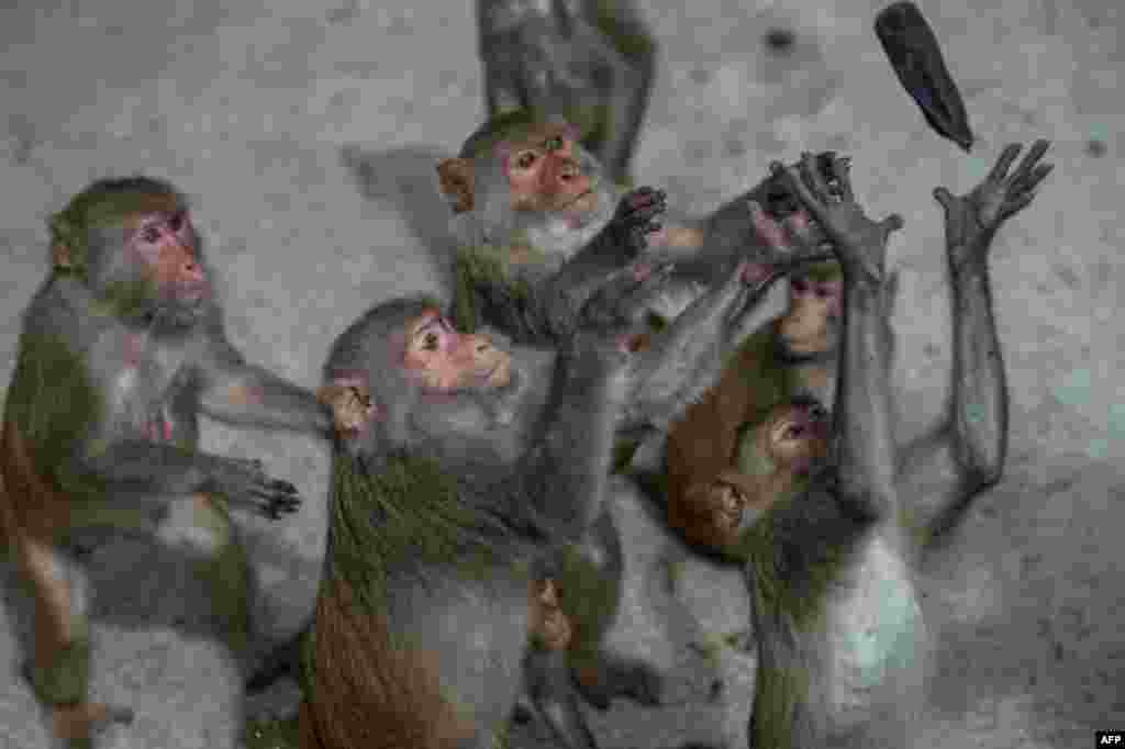 Monkeys catch a banana during feeding time by rangers at the Hlawga Wildlife Park, outskirts of Yangon, Myanmar, that remains closed, amid the concerns of the COVID-19 coronavirus pandemic, May 17, 2020.