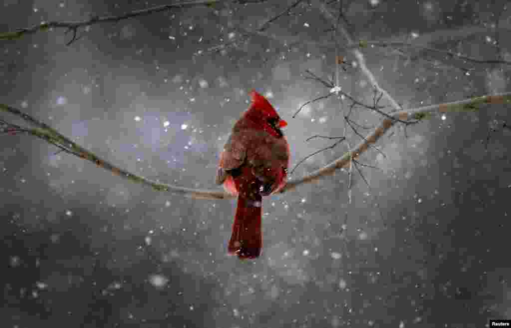 A Northern Cardinal sits on a tree branch in falling snow in the New York City suburb of Nyack, New York, Jan. 21, 2014. A fast moving winter storm was forecast to dump as much as a foot of snow on the northeastern United States with winter storm warnings and advisories issued from the central Appalachian Mountains north to southern New England.