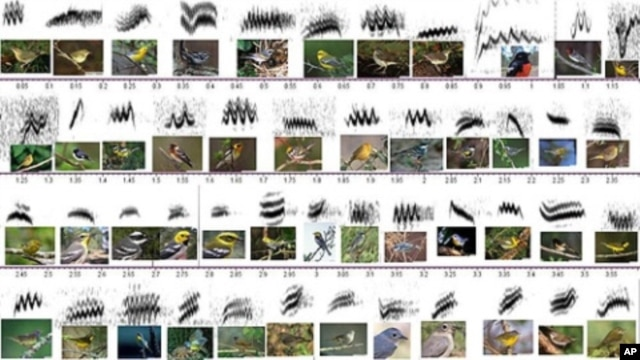 Chart showing the various birds and what the waveform of their call looks like.