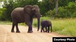 南非的大象 (图片来源: Nitin Sekar )