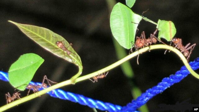 Leaf-cutter ants have powerful blades on either side of their head that are as sharp as any man-made knife.